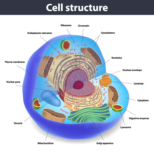Cell Structure For Kids