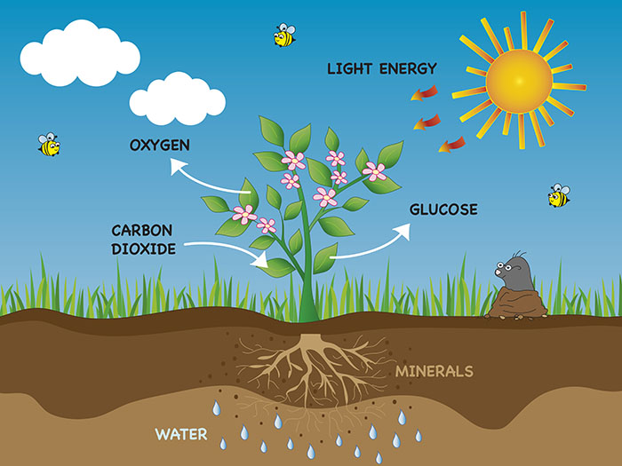 What Raw Materials are Needed for Photosynthesis