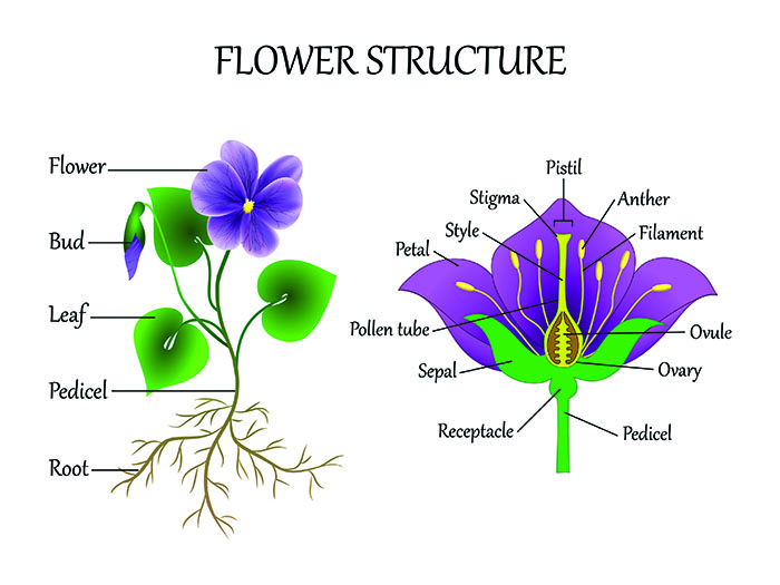 Plant Structure Facts for Kids (All You Need to Know!)