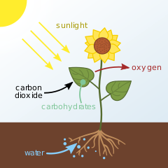 What is a Waste Product of Photosynthesis