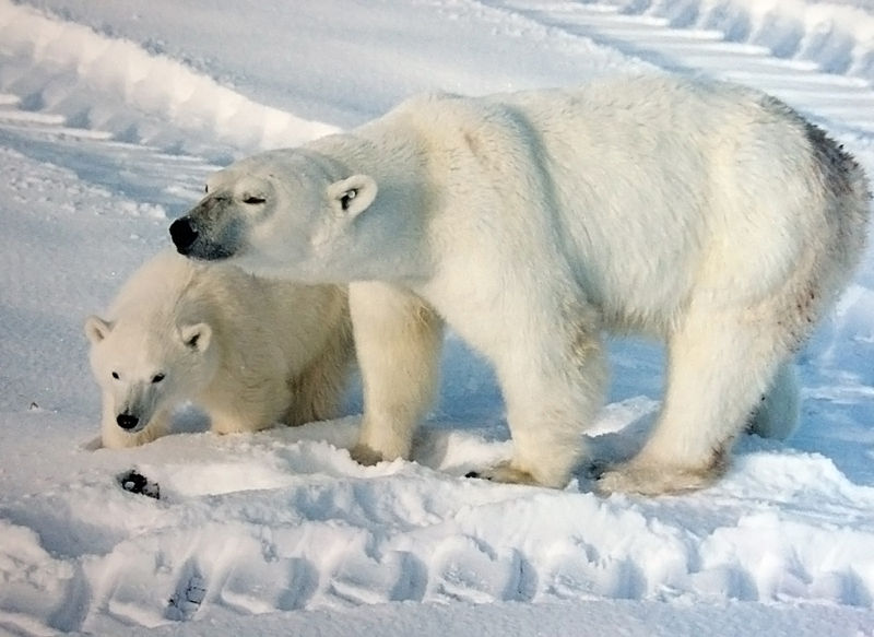A polar bear with cub