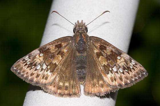 Horace's duskywing Female