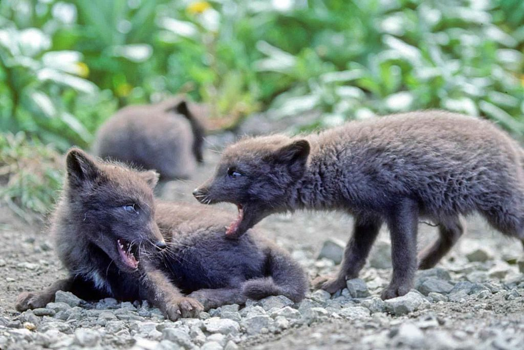 Pups of Arctic fox with summer morph