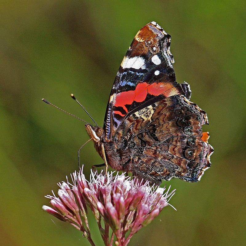 Red Admiral Ventral view