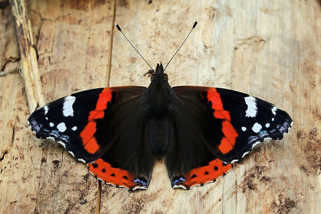 Red admiral Dorsal view